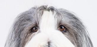 Hundefotografie Studioportrait Bearded