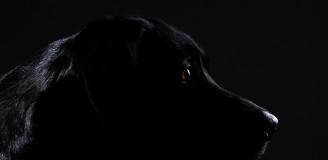 Hundefotografie Studioportrait schwarzer Hund Labrador