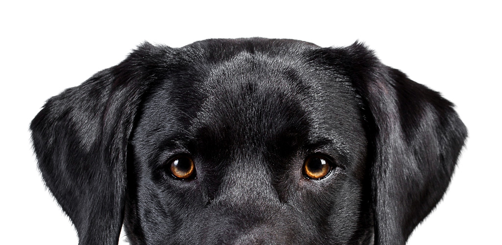 Hundefotografie Studioportrait schwarzer Hund