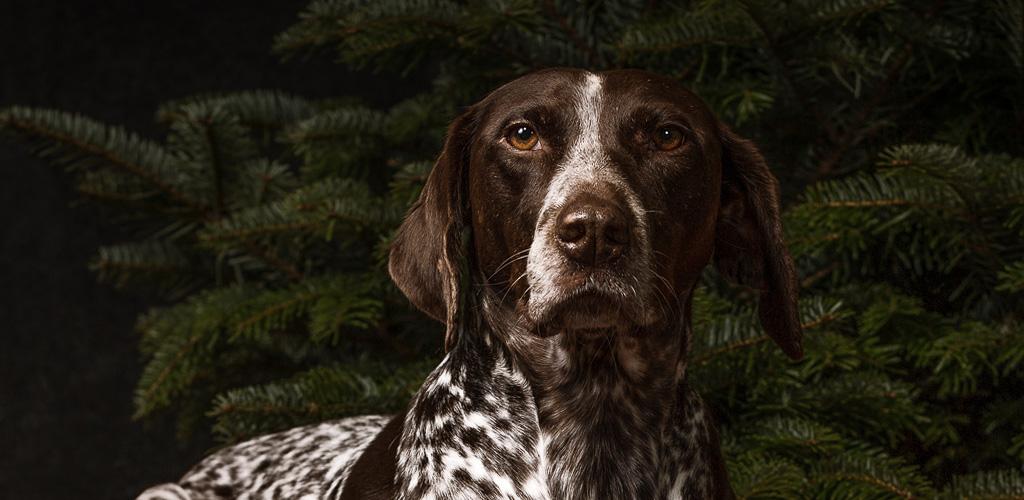 Hundefotografie Studioportrait Weihnachten
