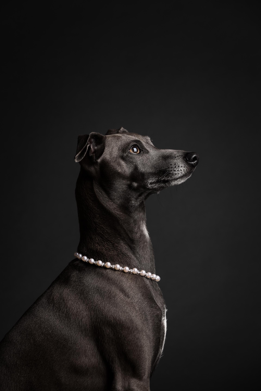 Hundefotografie-Tierlicht-Hundeportrait-3387