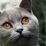 Katzenfotografie einer grauen Katze im Garten