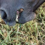 Pferdefotografie vom Maul eines Kaltblut Pferdes beim fressen von Gras