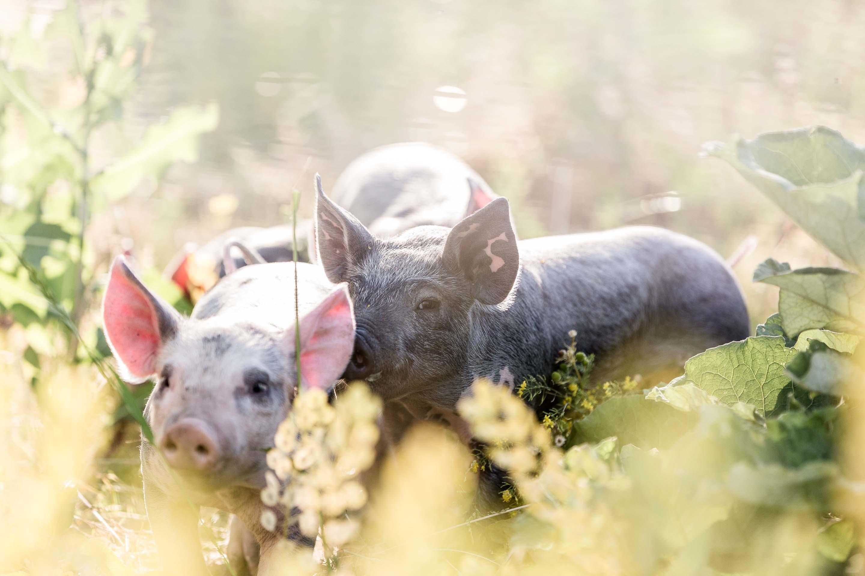 Tierfotografie-Tierlicht-Schweinefotografie
