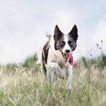 Rettungshunde Übung mit einem Hund der in einer Wiese läuft zur Flächensuche