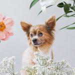 Hundeportrait eines Chihuahuas in Mitten von Blumen vom Fotoshooting mit Blumen und Tieren