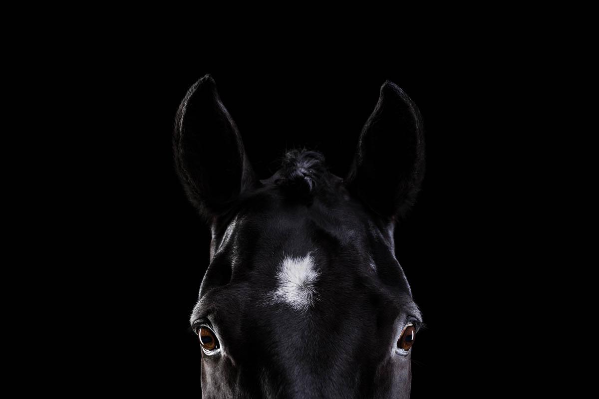 Pferde im Fotostudio ©Tierlicht_web-10
