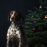 Bild das Weihnachts Fotografie für Hunde zeigt mit einem Jagdhund vor einem Tannenbaum von Hundefotograf Tierlicht