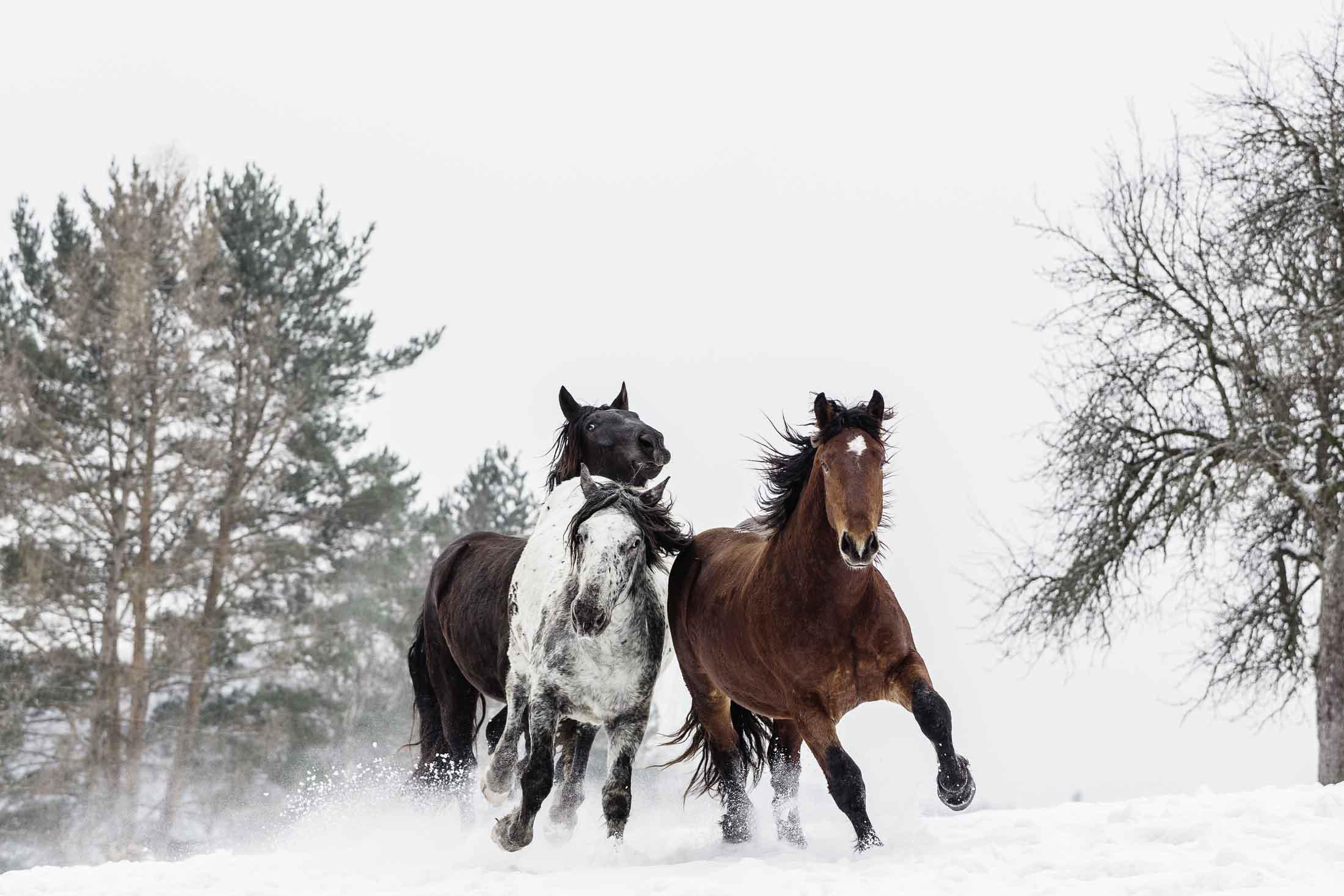 Pferde Im Schnee ©Tierlicht_HP-3898