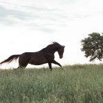 Ein dunkelbraune Pferde Silhouette bei einem Pferde Fotoshooting von Tierlicht